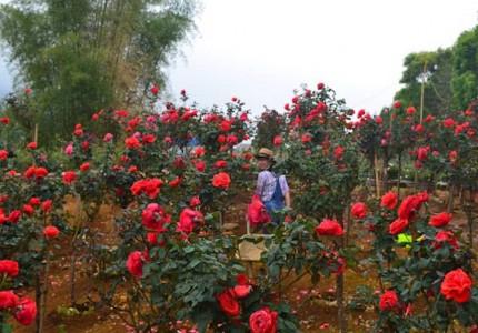 Kinh nghiệm trồng hoa hồng Đà Lạt cho chất lượng hoa cao