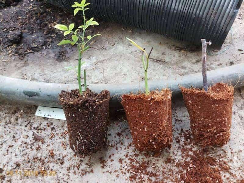 Trước khi trồng nên ngâm rễ hoa hồng với dung dịch kích thích ra rễ