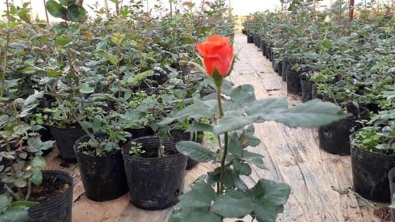 Hoa hồng cần được trồng trên đất thích hợp thì mới có thể sinh trưởng và phát triển khỏe mạnh